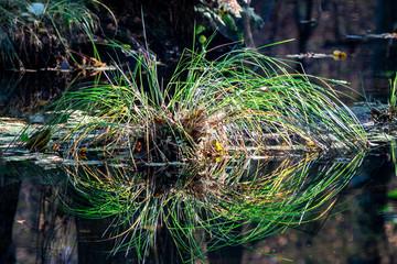 Spiegelung im Wasser einer Sumpfplanze in Teich