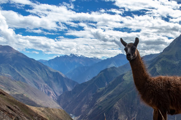 Portrait of a brown lama on the Choqueqirao Trek to Machu Picchu in the Andes Mountains, Peru