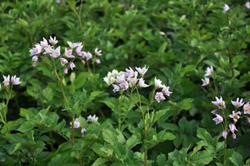 In the field bloom potatoes