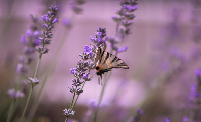 macro butterfly sitting on lavender. Lavender and butterfly. Butterfly wings . The butterfly eats nectar. Beautiful blurred background and butterfly.
