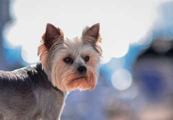 Yorkshire Terrier . PORTRAIT OF A SMALL DOG