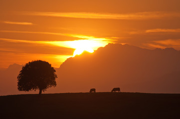 Silhouette of tree and cows on a beautiful sunset with the sun behind the mountains