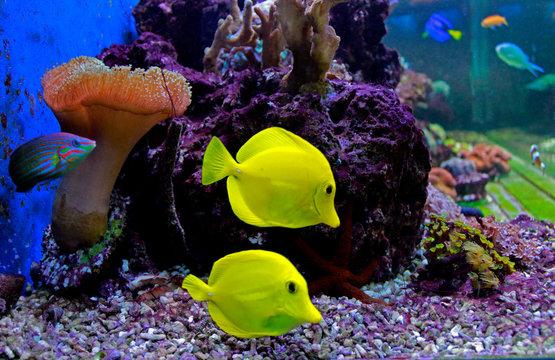 Zebrasoma the Hawaiian Yellow tang fish