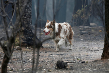 A cadaver dog searches for human remains in an area destroyed by the Camp Fire in Paradise