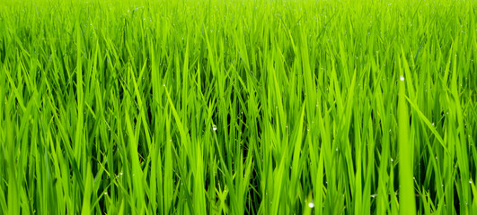 beautiful rice field in the morning with dew drops water