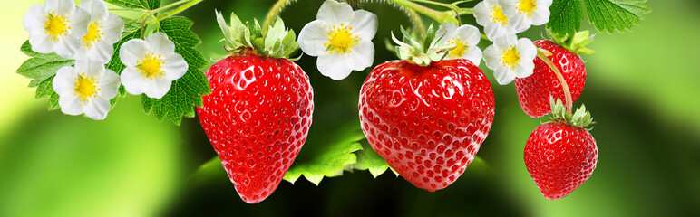 blooming garden plant strawberry witch tasty berries