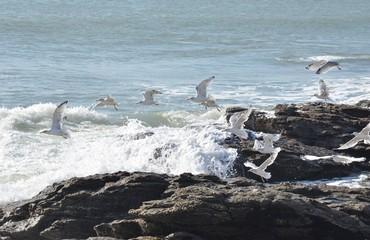 Hering gull (goélands argentés), Bretagne, France