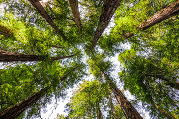 Looking up in a Redwood forest, Mt Tamalpais State Park, Marin County, California Wall mural
