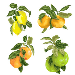 Set with fruits in vector such as lime, lemon, orange, pomelo and grapefruit
