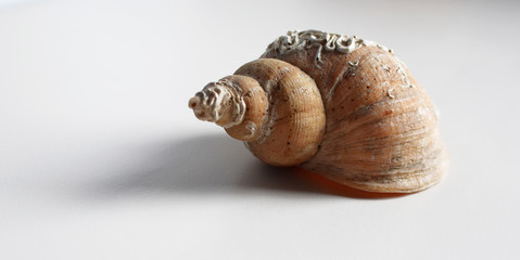 Sea shell on very light grey background with copy space for text.