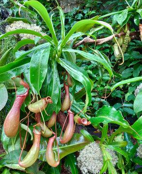 ウツボカズラ 食虫植物 緑 自然
