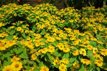 メランポディウム 黄色い花 ガーデニング