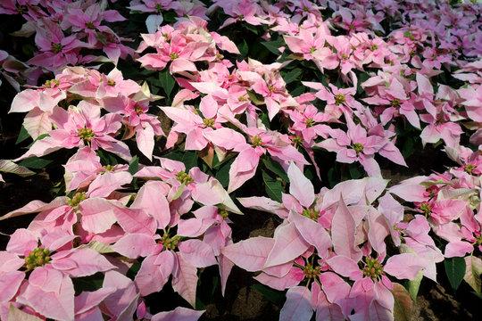 ポインセチア ピンク 花
