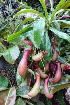 ウツボカズラ 食虫植物 緑