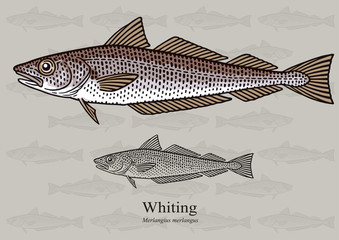 Whiting. Vector illustration with refined details and optimized stroke that allows the image to be used in small sizes (in packaging design, decoration, educational graphics, etc.)