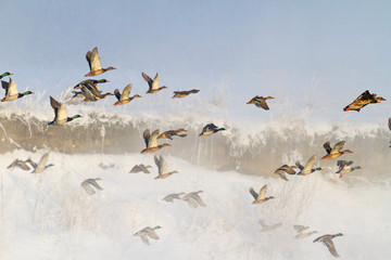 ducks taking off from misty river in a frosty winter morning Wall mural