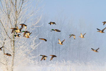 frosty morning and birds flying over a snowy forest Wall mural