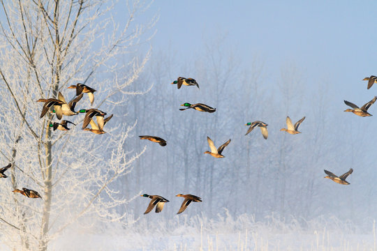 frosty morning and birds flying over a snowy forest