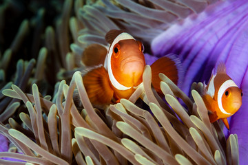 Wall Mural - Cute, friendly Clownfish in an anemone on a tropical coral reef