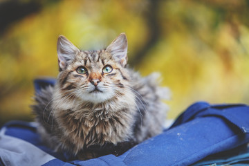 Siberian cat sitting on a bag in the garden