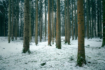 Cold and snowy winter in conifer tree forest landscape.