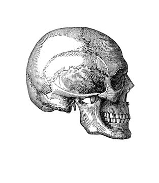 Vintage illustration of anatomy, human skull lateral view