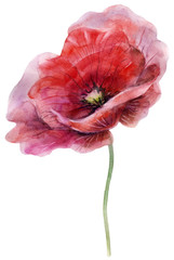 Watercolor poppy. The flower clipart isolated on a white background. Hand painted illustration for design prints and fabric.