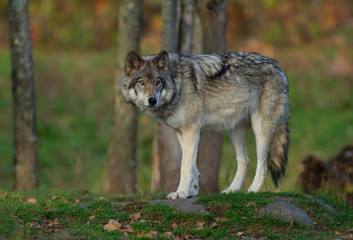 Tuinposter Wolf A lone Timber wolf or Grey Wolf (Canis lupus) on top of a rock looks back on an autumn day in Canada