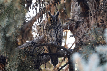 A long-eared owl sits on a branch of a pine tree in a park in Kikinda