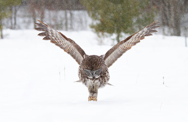 Great grey owl with wings spread out prepares to strike as he hunts (Strix nebulosa) in the winter snow in Canada