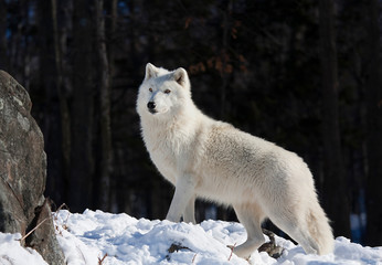 A lone Arctic wolf (Canis lupus arctos) walking through the snow in winter in Canada