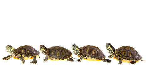 Fotorolgordijn Schildpad Turtle family on parade