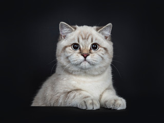 Super cute blue tabby point British Shorthair cat kitten sitting behind black box, looking to camera with light blue eyes and paws on box. Isolated on black background.