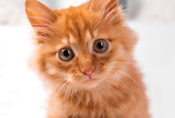 A small red Maine-coon kitten, on a white background, plays, runs, looks, lies