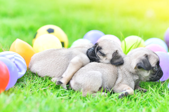 Cute puppies Pug sleeping together in green lawn after eat feed