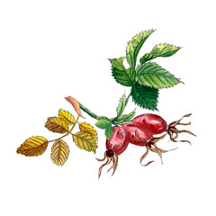 Rose hip branch with berries and leaves isolated on white background