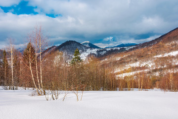 winter landscape of Uzhanian National Nature Park. leafless birch trees on slopes. high mountain with snowy peak in the distance