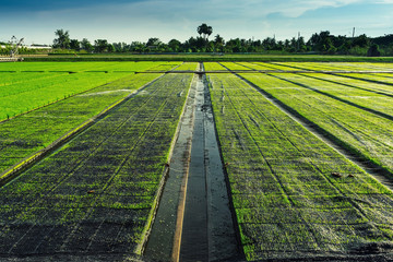 Beautiful view of rice seedlings in the field in Suphanburi Thai