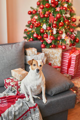 Jack Russell Terrier in New Year's interior