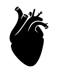 Realistic proportional human vector heart on white