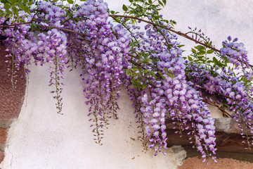 Wisteria flowers on wall