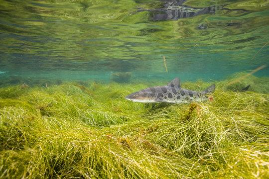Leopard Shark or Triakis semifasciata swimming near the Channel Islands of the Pacific Ocean near Santa Barbara, Califonria.  Wild