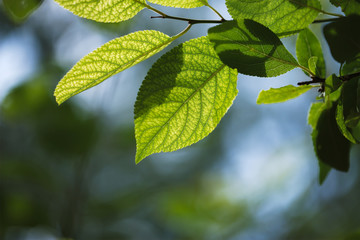 Macro photo of green leaves with blurred green-blue background o