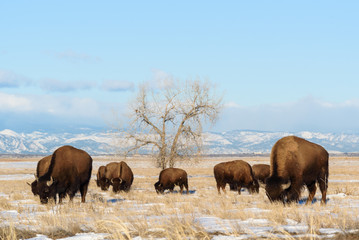 Canvas Prints Bison American Bison on the High Plains of Colorado