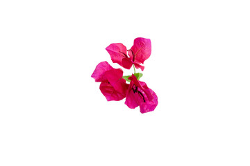Beautiful Red Bougainvillea flower with green leave isolated on white.
