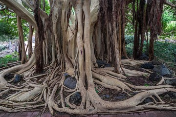 Roots, Ficus socotrana (Ficus socotrana), botanical garden, Jardin Botanico Canario Viera y Clavijo, Tafira, Gran Canaria, Canary Islands, Spain, Europe