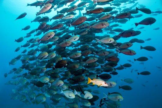 Schoolmaster snapper (Lutjanus apodus) associated with swarm Elongate Surgeonfish (Acanthurus mata), Pacific, Queensland, Australia, Oceania