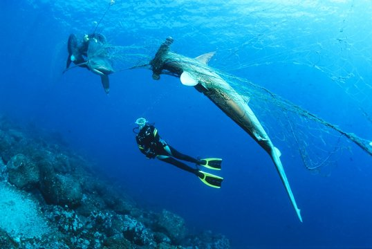 Diver considers dead Scalloped Hammerhead (Sphyrna lewini) and Galapagos shark (Carcharhinus galapagensis) in orphaned fishing net, Wolf Island, Galapagos Archipelago, Unesco World Heritage, Pacific, Ecuador, South America