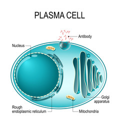 Anatomy of a Plasma cell, or B cell, or plasmocyte
