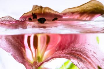Lilie in kristallklarem Eis